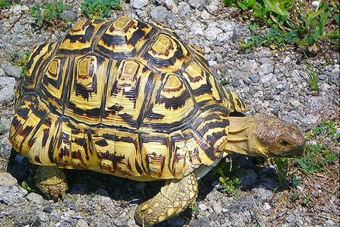 Leopard tortoise Photo Credit: gypsyjournal.net