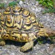 Leopard tortoise Photo Credit: gypsyjournal.net