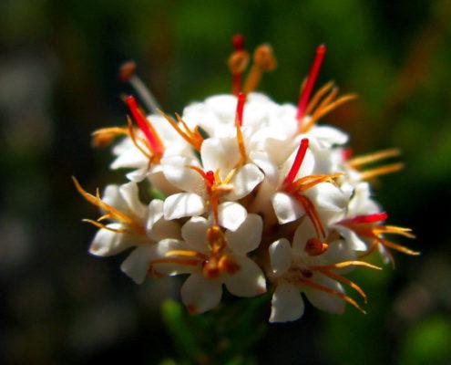 Macrostylis villosa