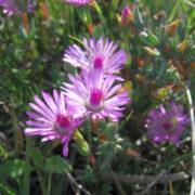 Lampranthus leptaleon_EN_Photo_Sabelo Memani